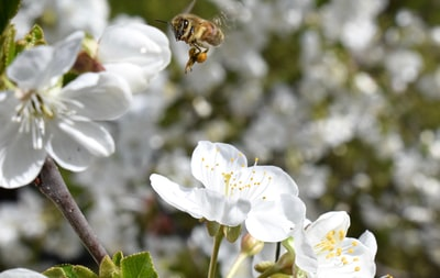 honeybee perched on white petaled flower in close up photography during daytime earth day zoom background