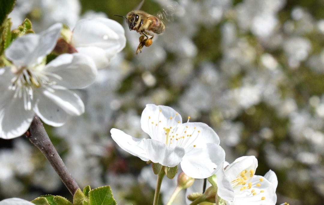 Bee carrying pollen