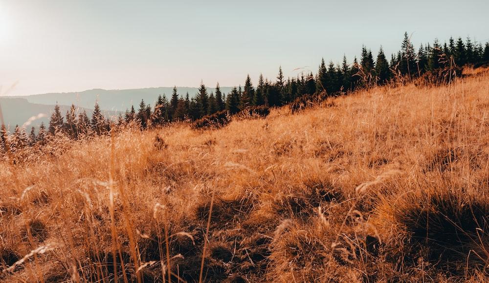 brown grass field near green pine trees under blue sky during daytime