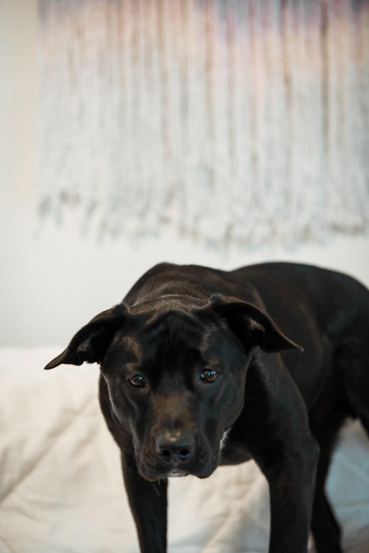 black short coated medium sized dog lying on white textile