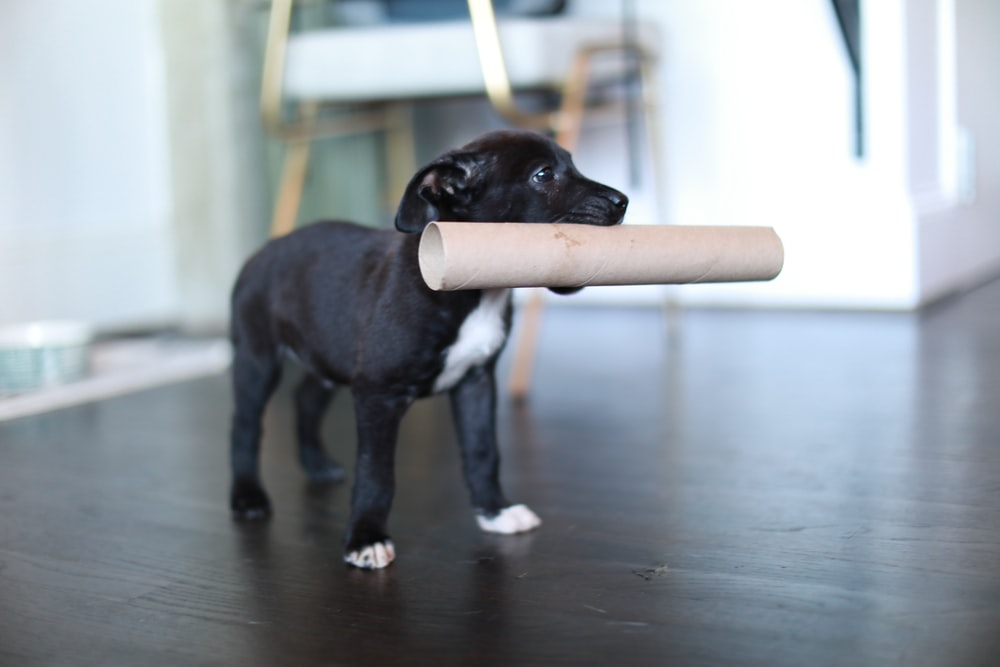 black and white short coated dog biting brown wooden stick