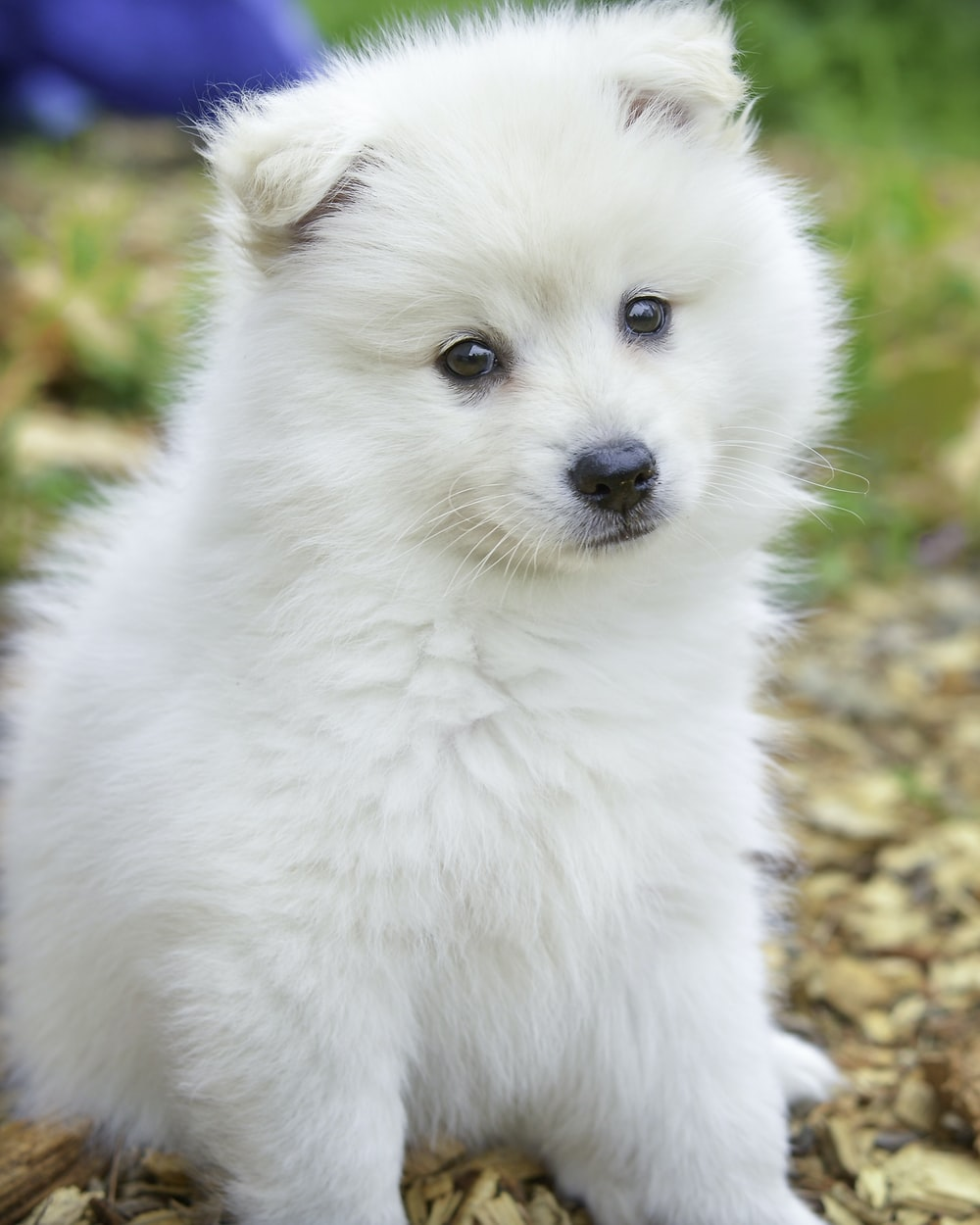 White Fluffy Dog Pictures Download Free Images On Unsplash