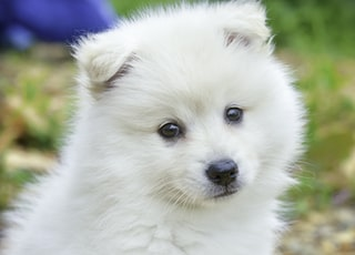 white pomeranian puppy on brown leaves