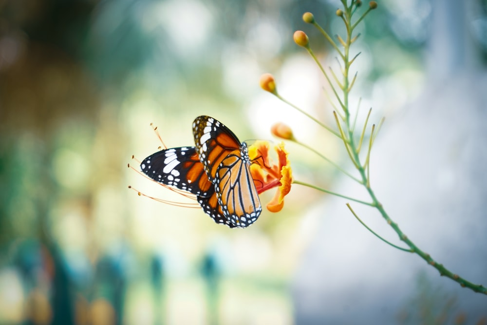 monarch butterfly perched on orange flower in close up photography during daytime