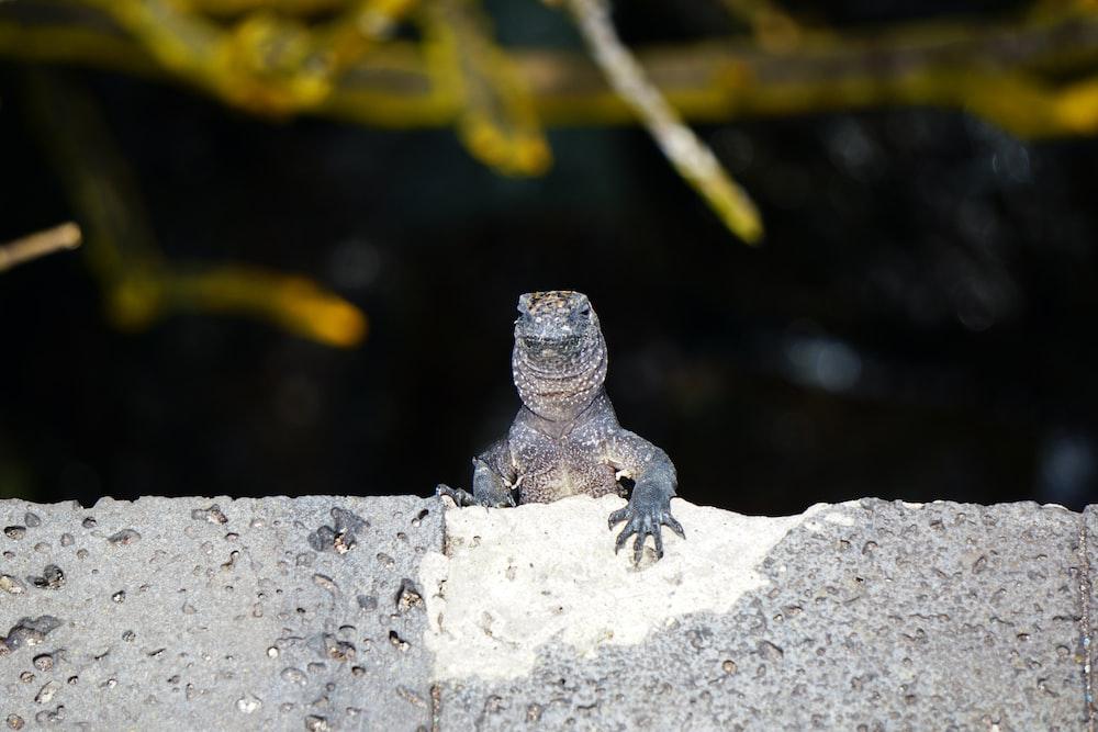 black and gray lizard on gray rock