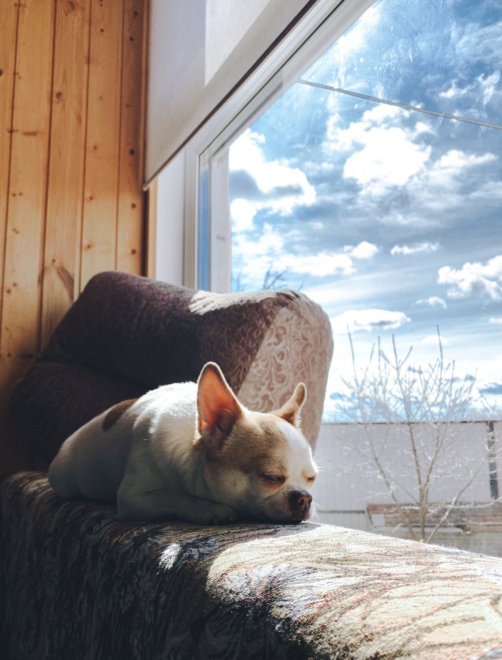 white chihuahua lying on brown and white floral sofa