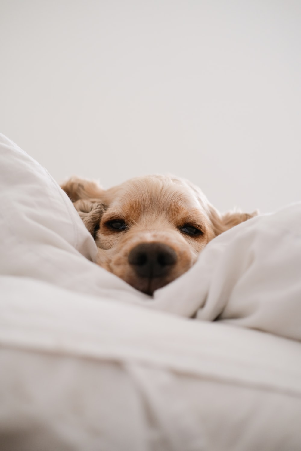 brown long coated small dog lying on white textile