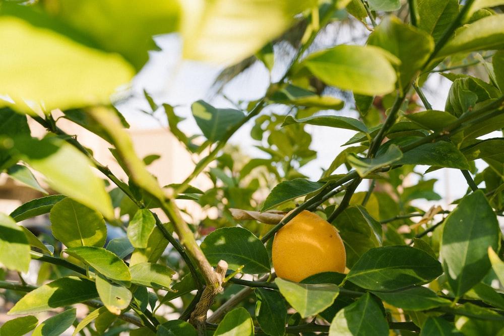 yellow citrus fruit on tree
