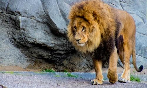 lion pickup line