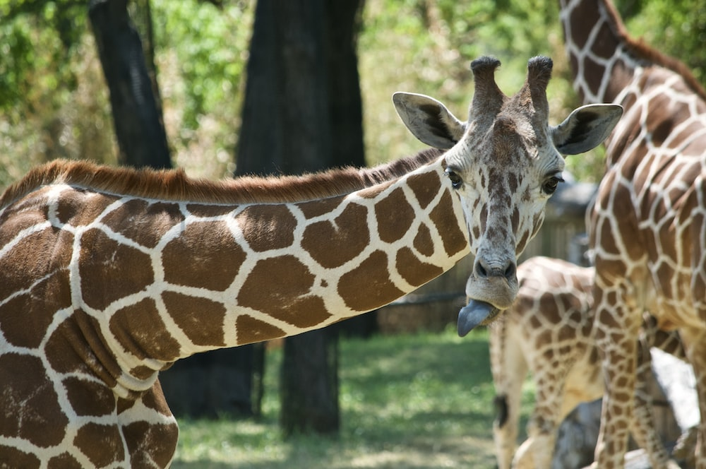 brown and white giraffe standing on green grass field during daytime