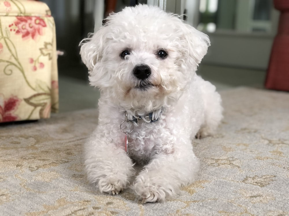 white poodle puppy on brown textile
