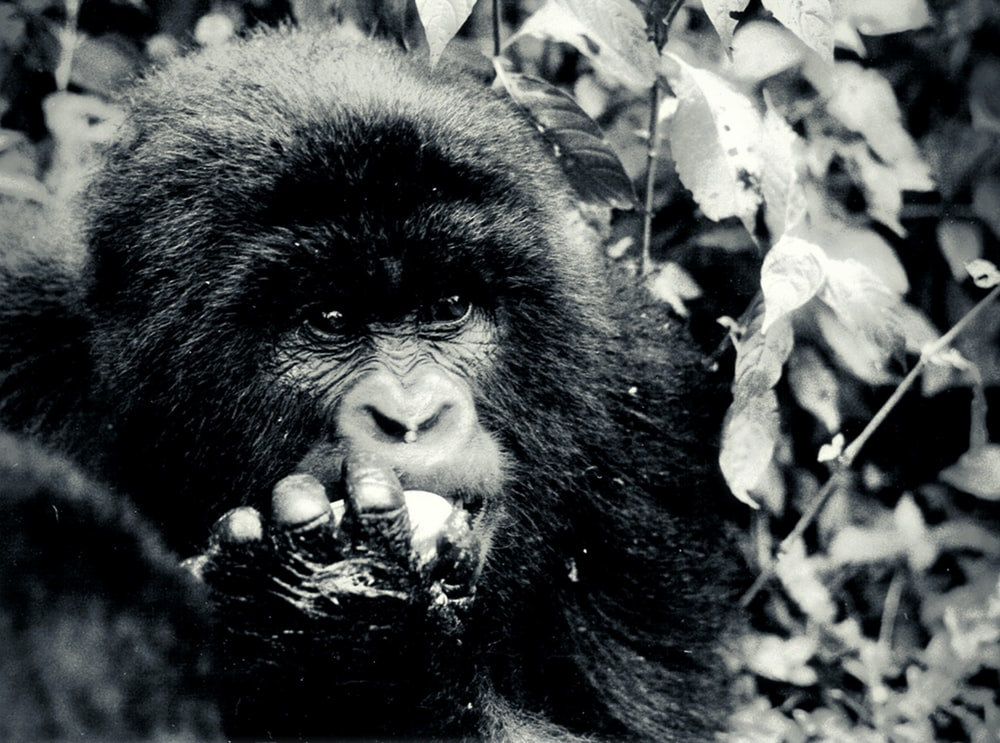 black gorilla in grayscale photography