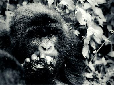 black gorilla in grayscale photography congo teams background