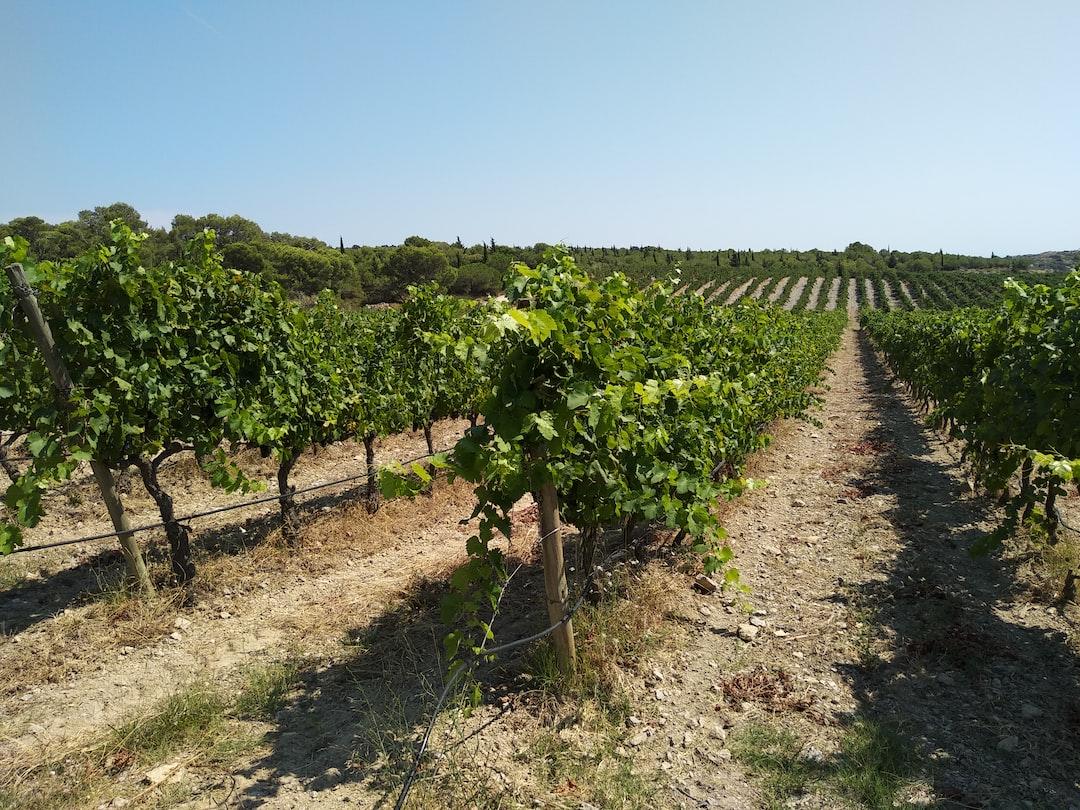 Vineyard in Narbonne, France  Viñedo en Narbona