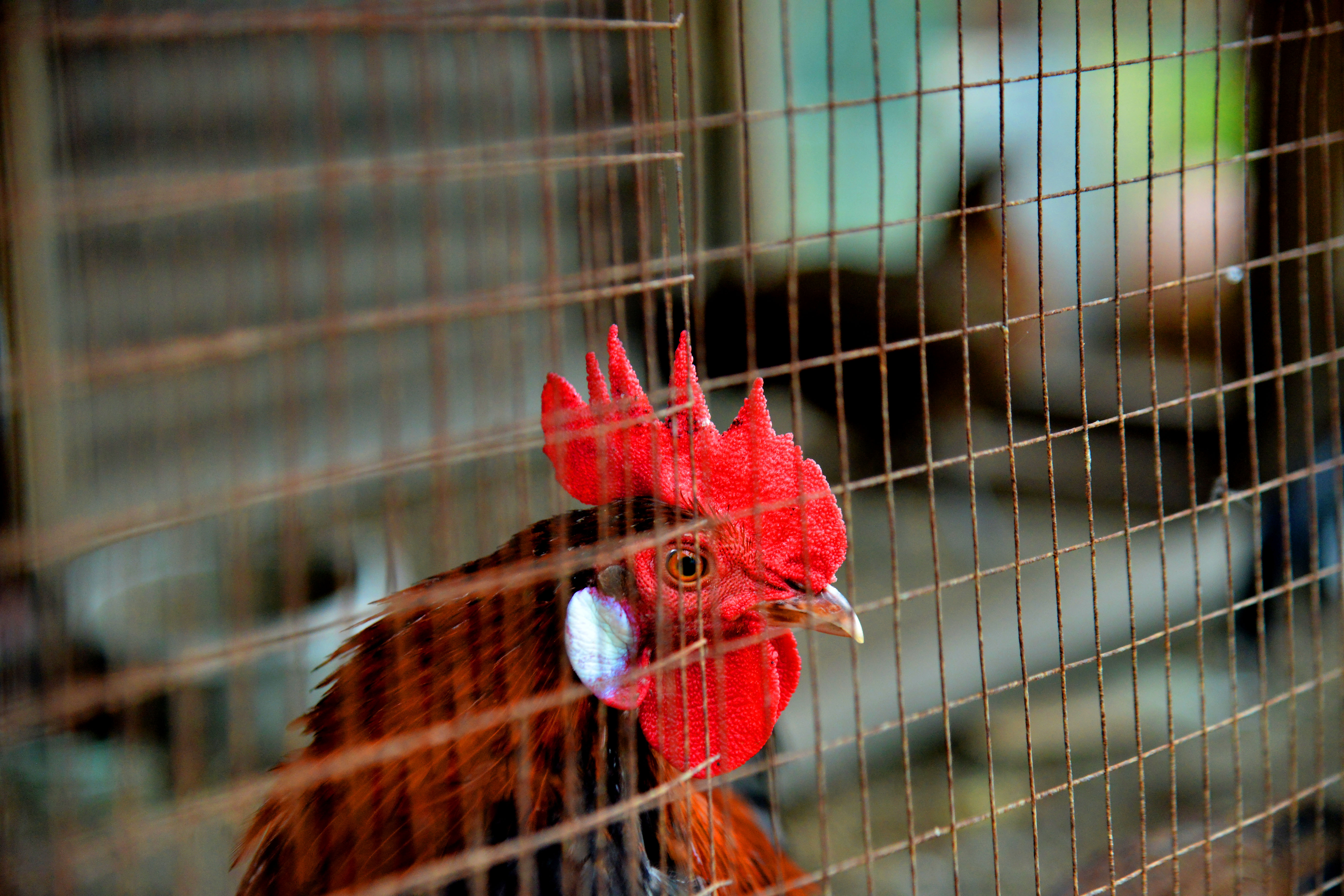red rooster in cage during daytime