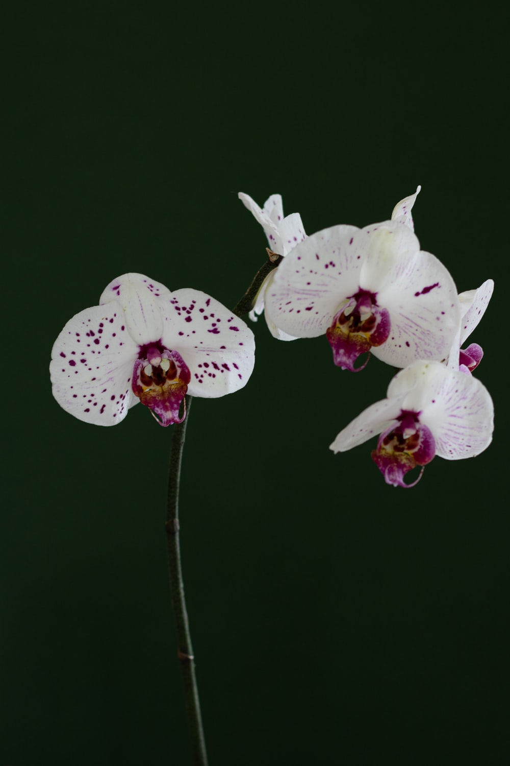 White And Purple Moth Orchids In Bloom Close Up Photo Photo Free
