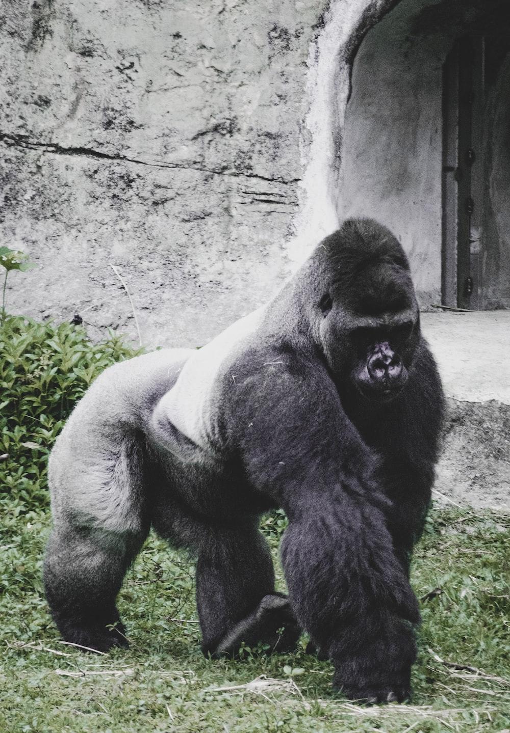 black gorilla sitting on ground