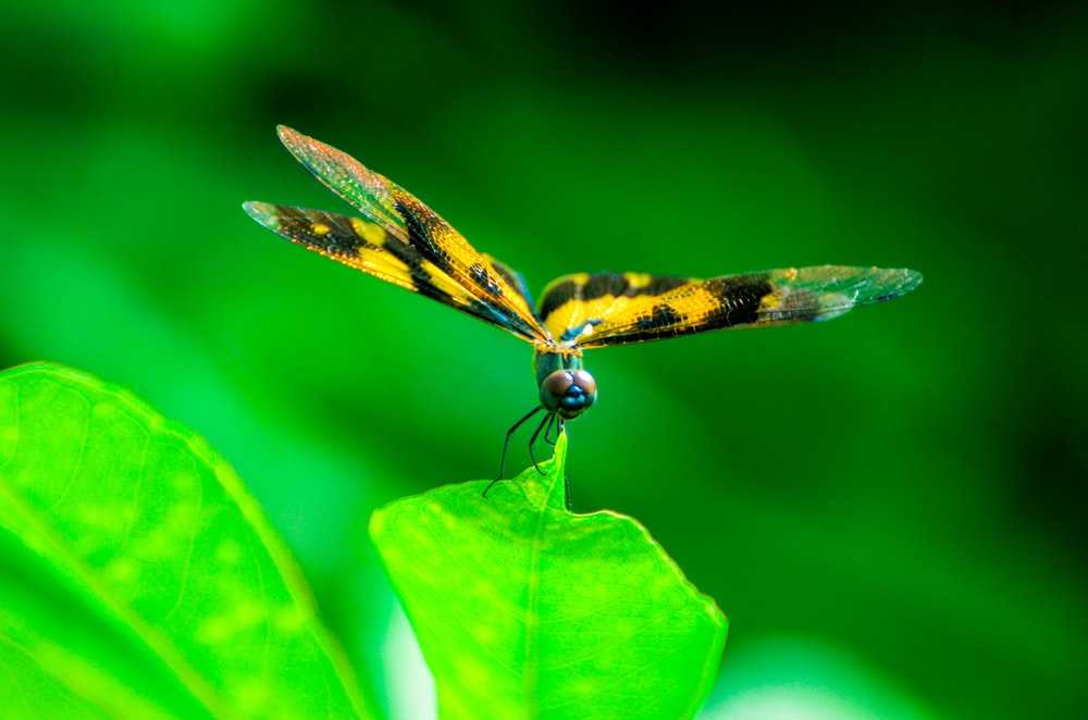 yellow and black dragonfly perched on green leaf in close up photography during daytime