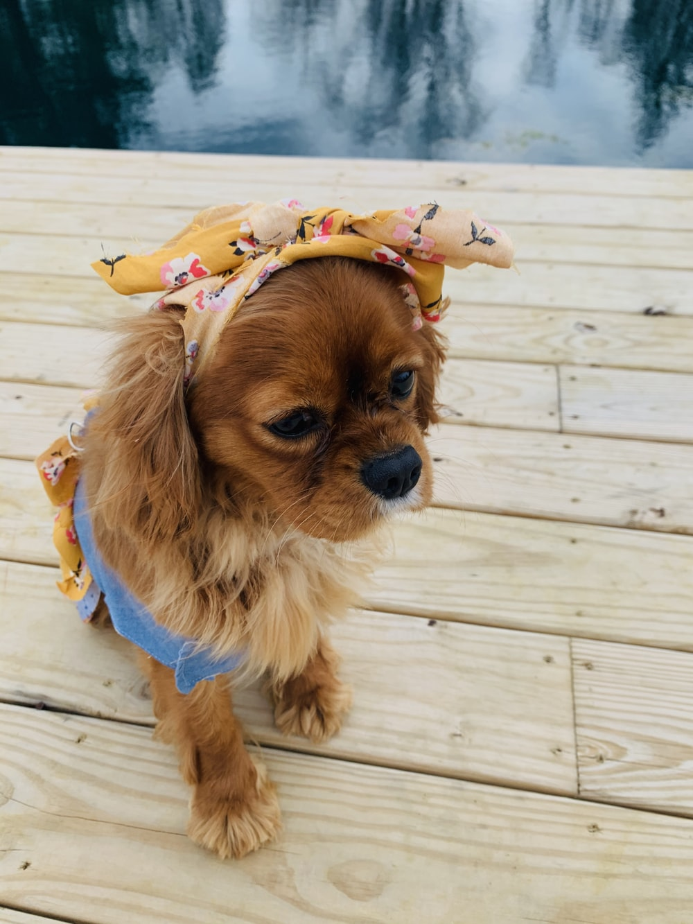brown long coated small dog with yellow blue and white floral headdress