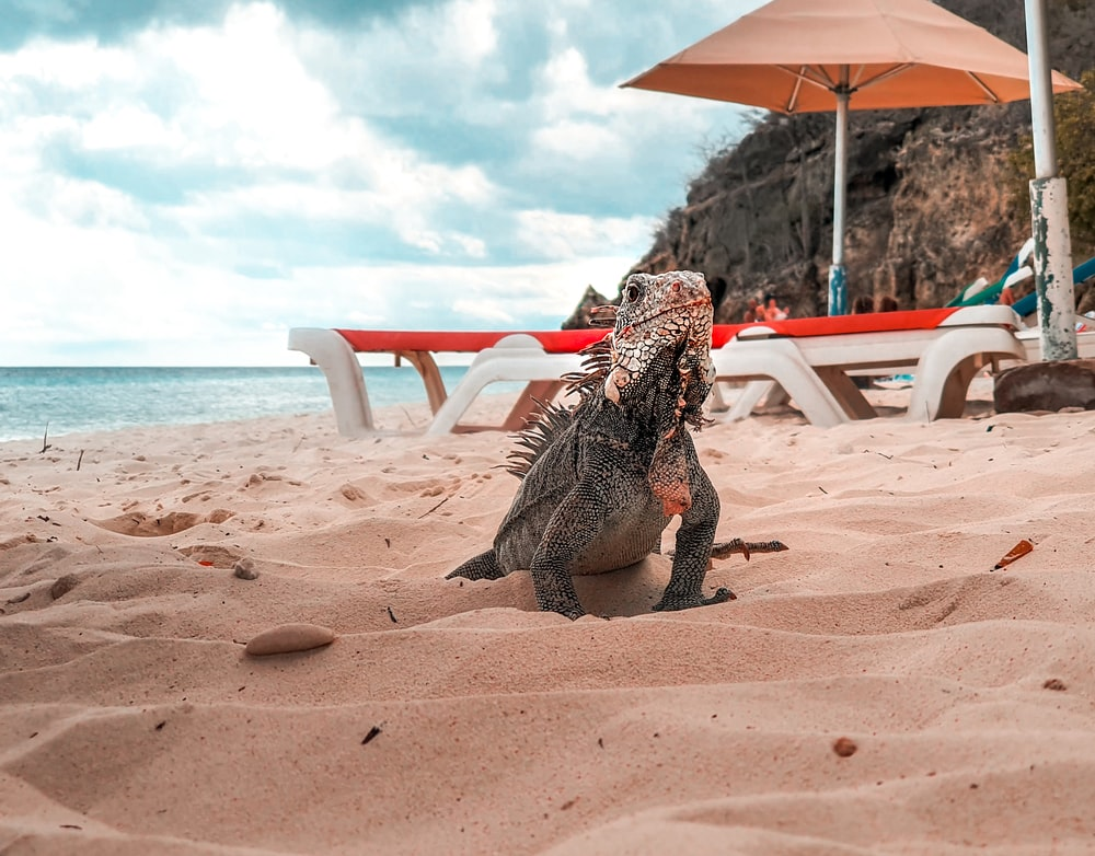brown and black iguana on brown sand during daytime