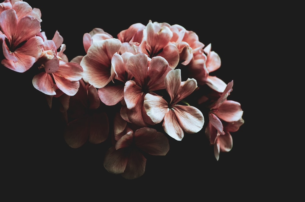 pink and white flower in black background
