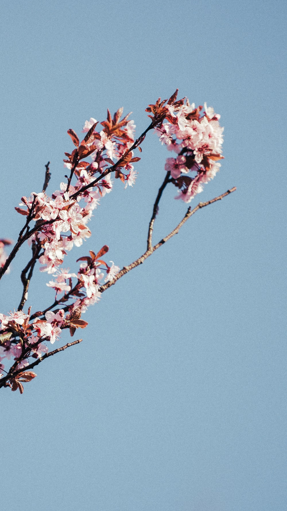 pink and white cherry blossom tree