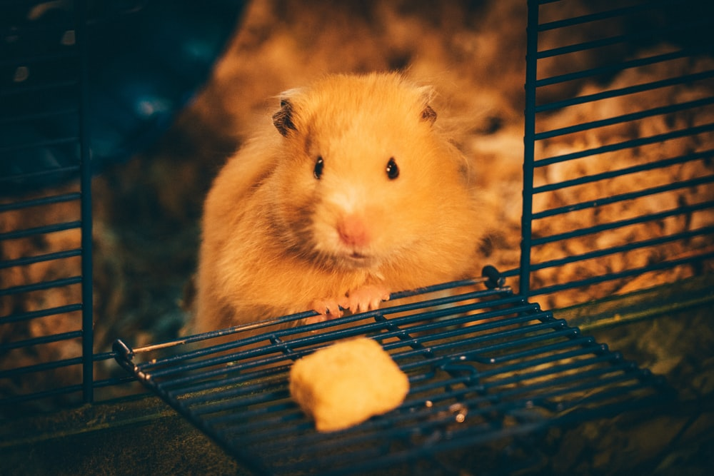 yellow hamster on blue cage