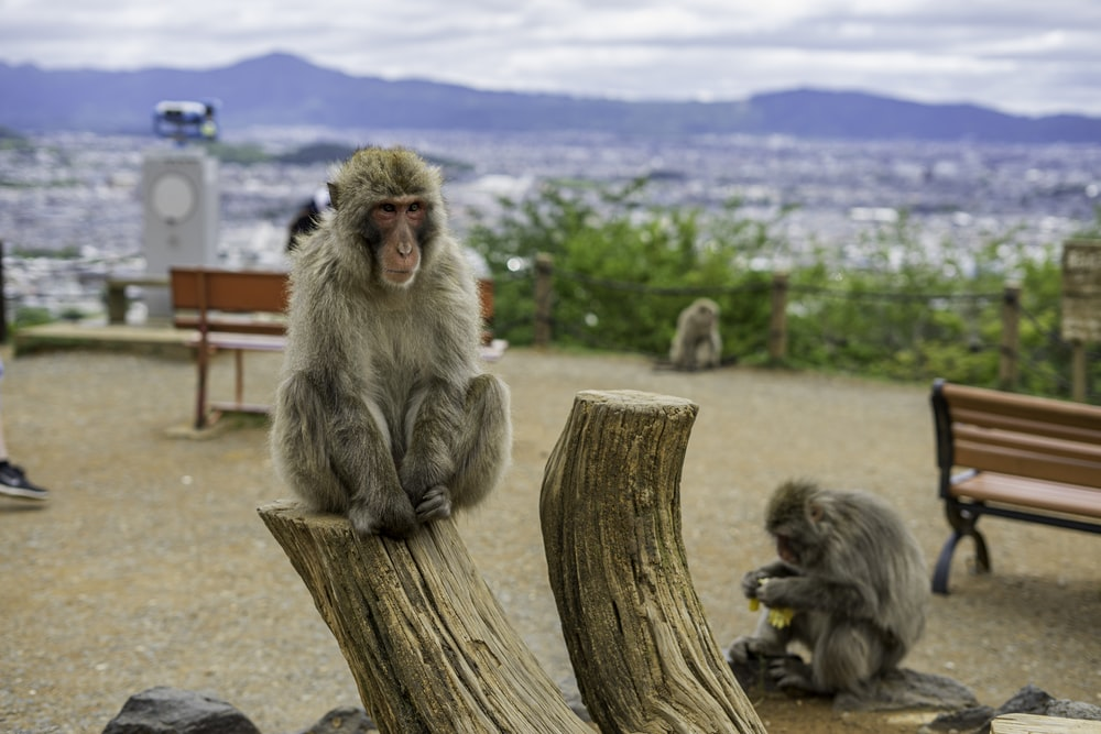 monkey sitting on brown wooden post during daytime