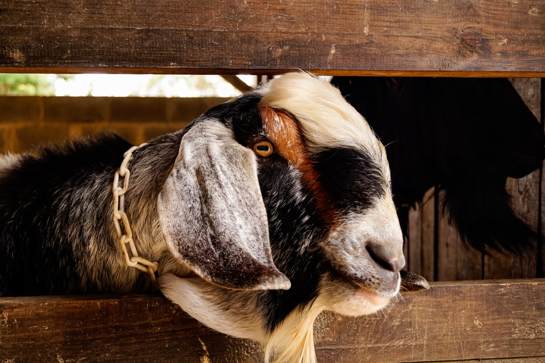 Male Anglo Nubian Goat