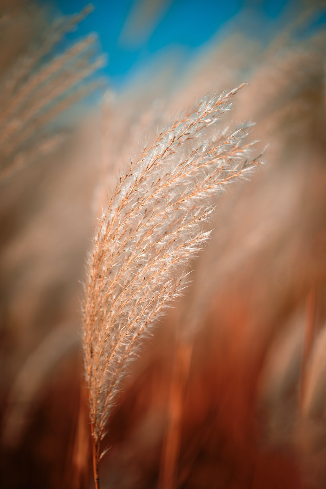 Cortaderia Selloana known as Pampas grass. Family: Poaceae. Very fluffy silver pampas grasses