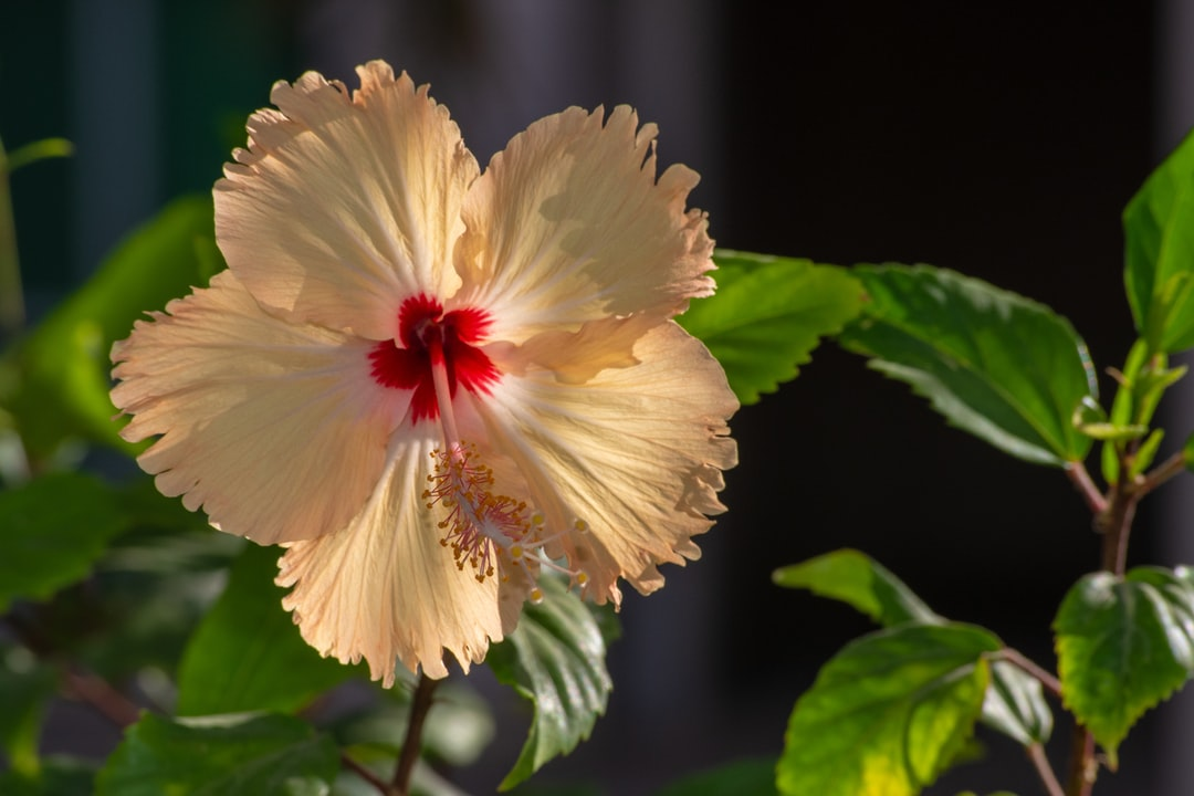 The beautiful yellow Chinese hibiscus also known as the China rose, Hawaiian hibiscus,, rose mallow and shoeblackplant in a garden in the UAE.