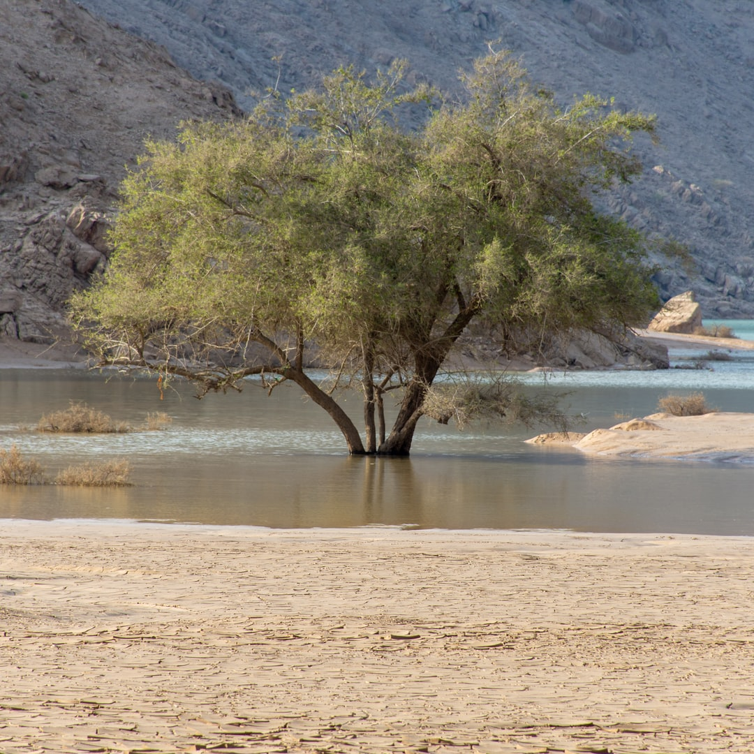 A lone green tree in a flooded wadi or lake in the United Arab Emirates (UAE) aafter a flood and storm near Jebal Jais mountain in Ras al Khaimah.