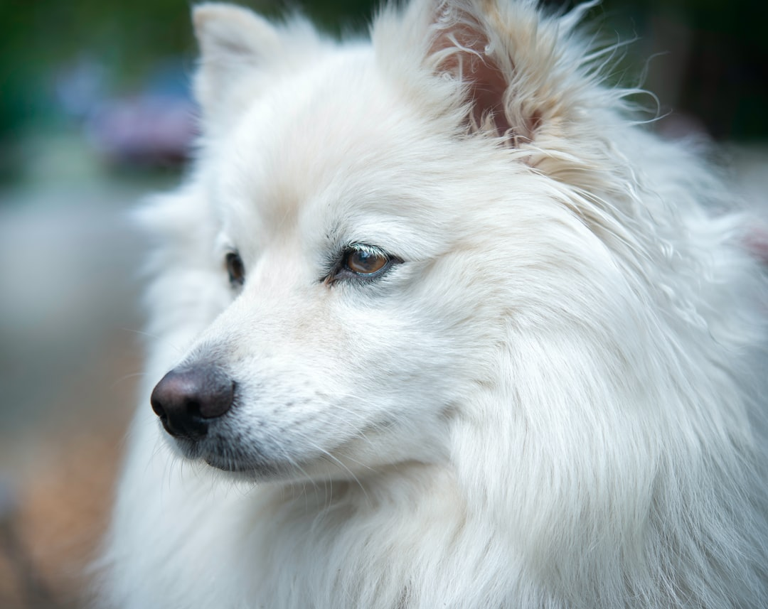 White American Eskimo puppy dog close up with fluffy fur and brown eyes.