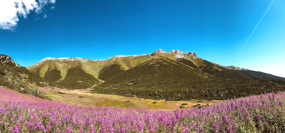 purple flower field near green mountain under blue sky during daytime