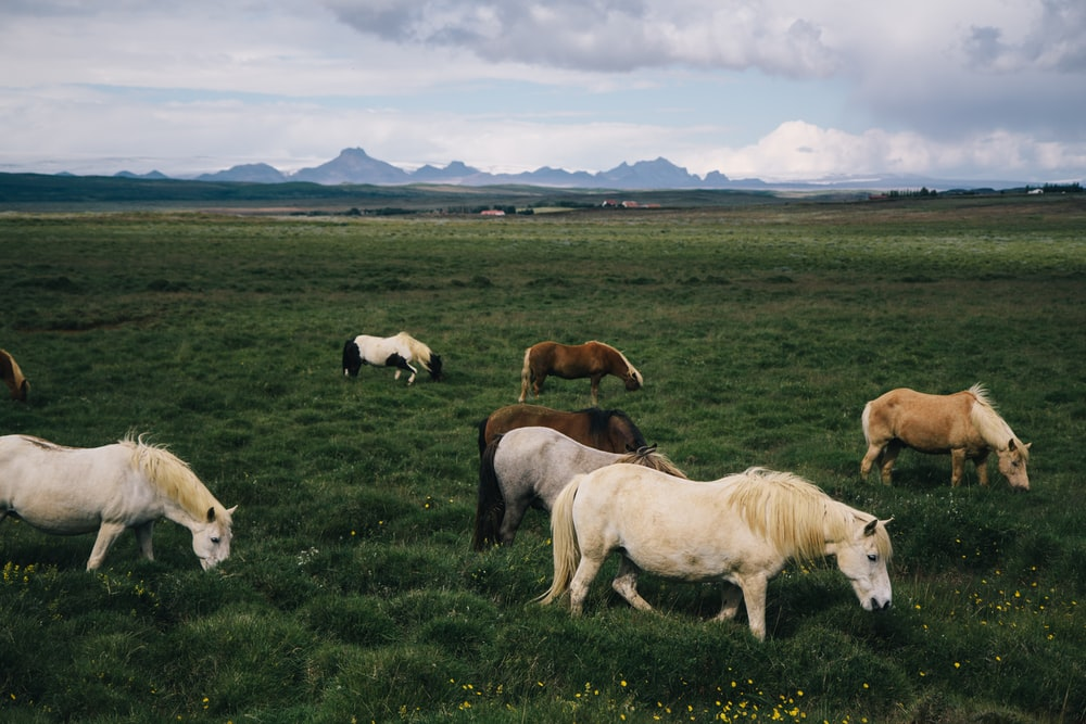 white and brown horses on green grass field during daytime