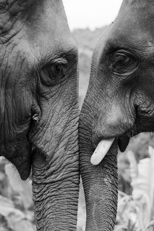 2 gray elephants during daytime