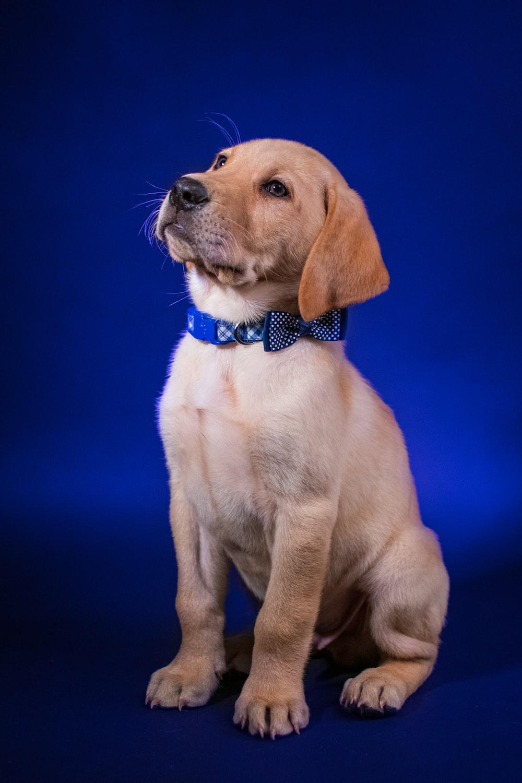 yellow labrador retriever puppy with blue collar