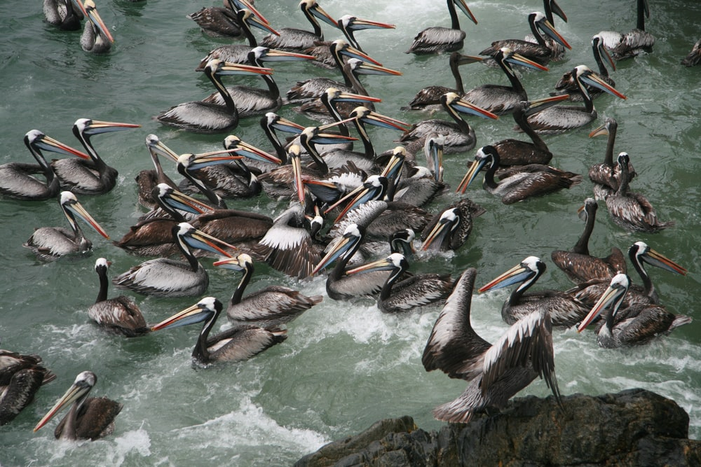 flock of pelicans on water during daytime