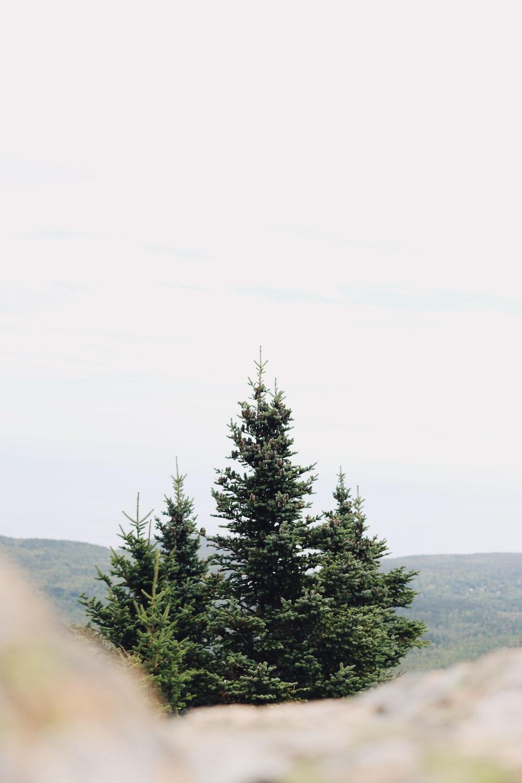 green pine tree on foggy weather