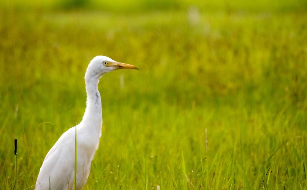 white bird on green grass field during daytime