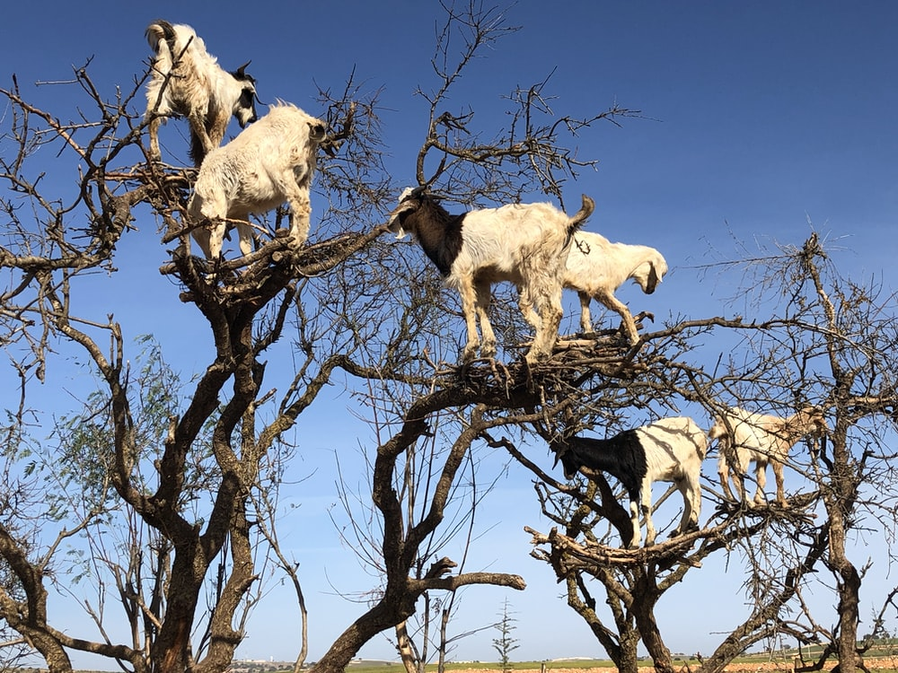 white goats on brown tree branch during daytime