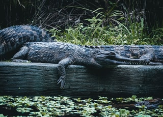 black crocodile on brown wooden log