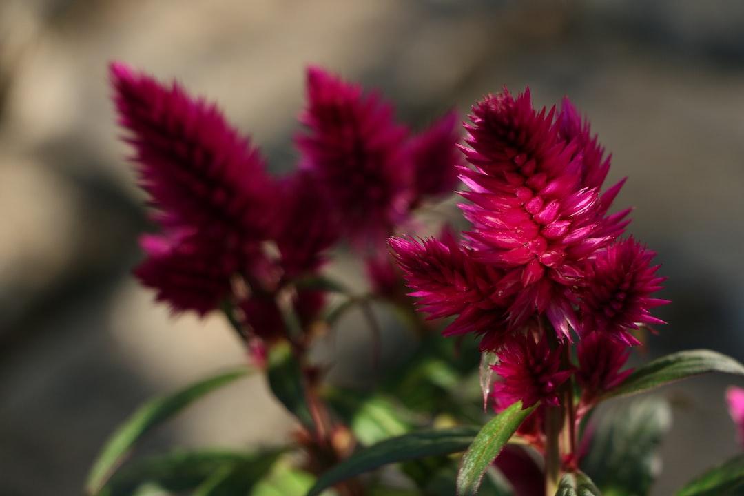 Deep purple Celosia, spring 2020