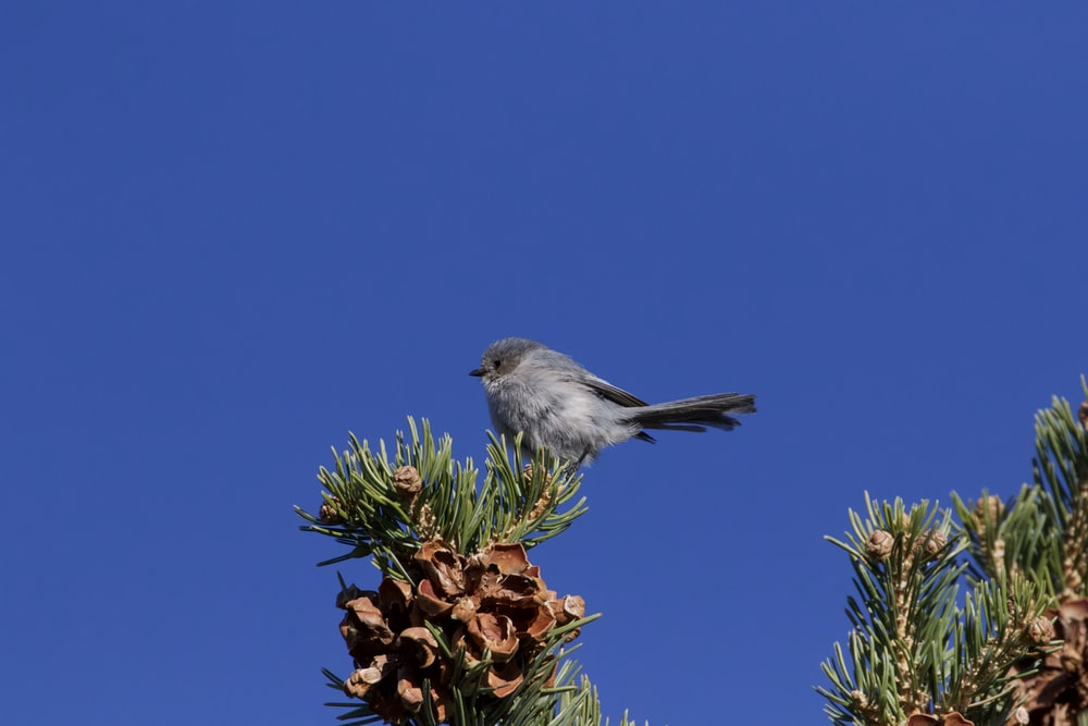 gray bird on brown pine cone