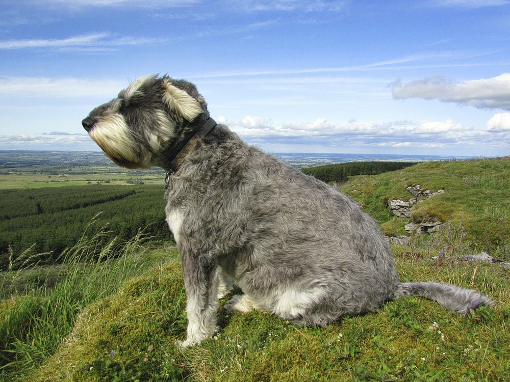 gray and white long coated dog on green grass field under blue sky during daytime
