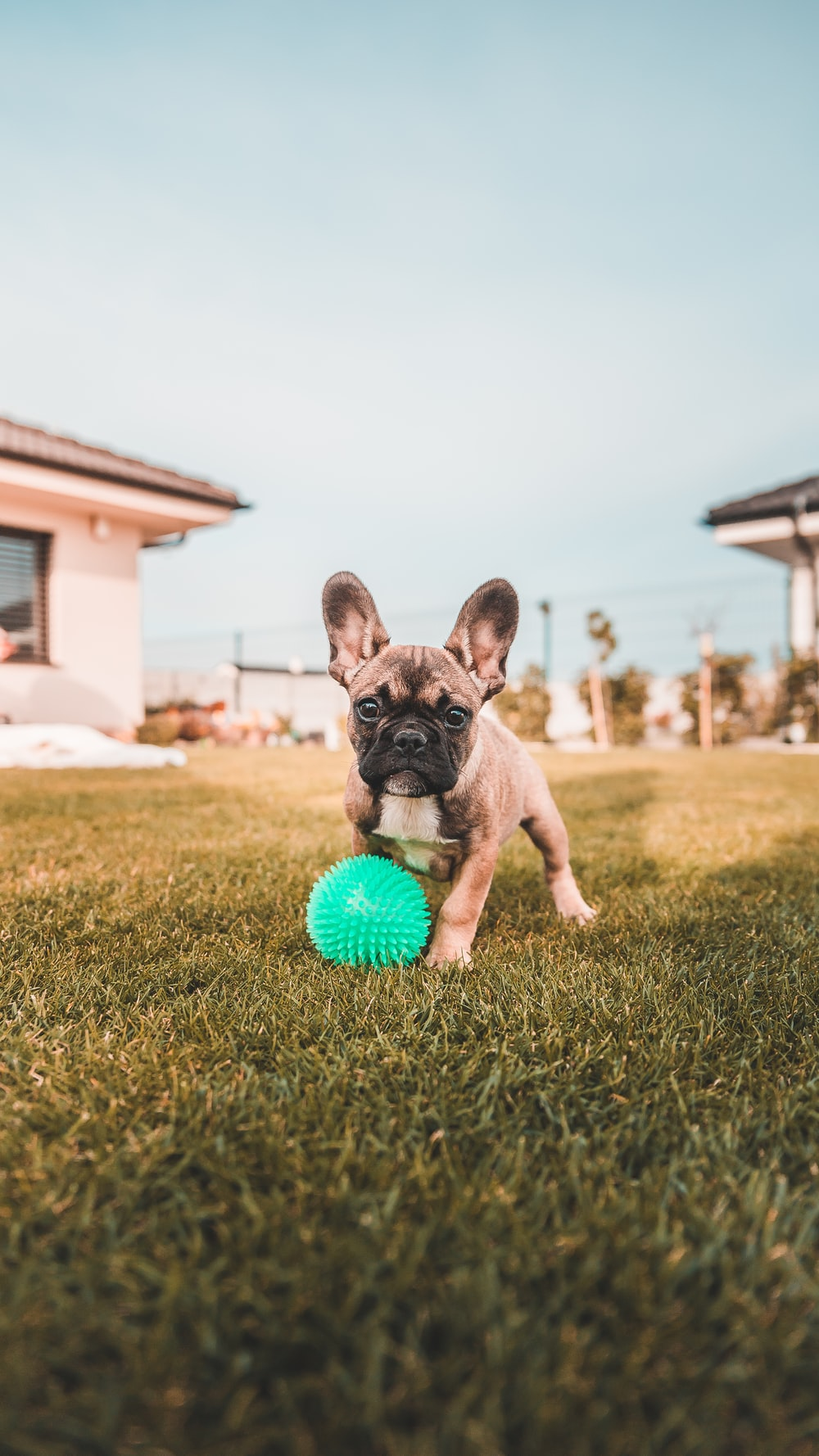 brown and black french bulldog puppy playing ball on green grass field during daytime