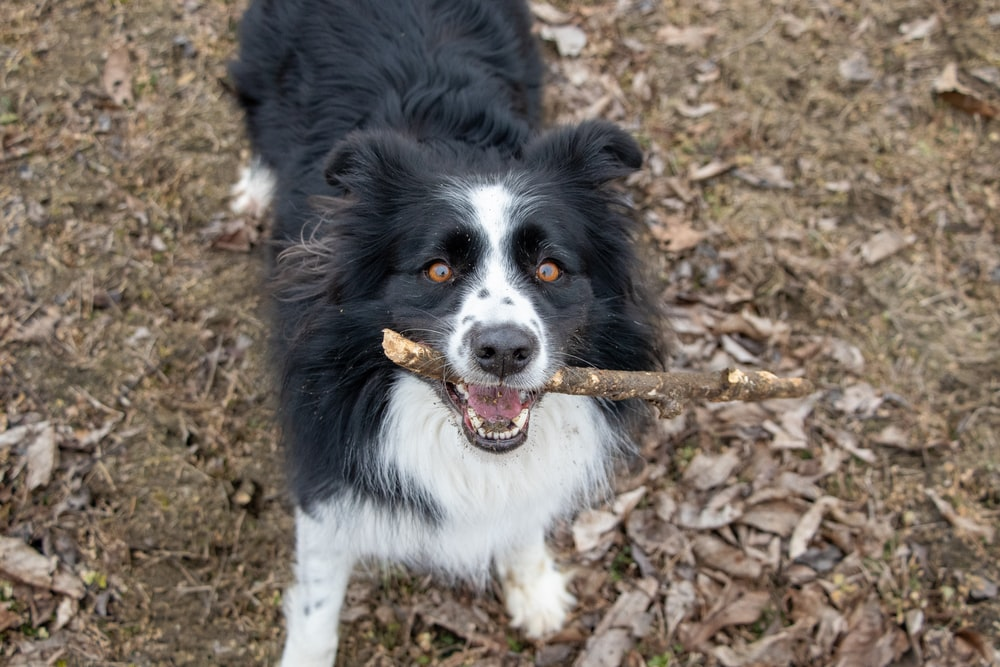 black and white border collie mix