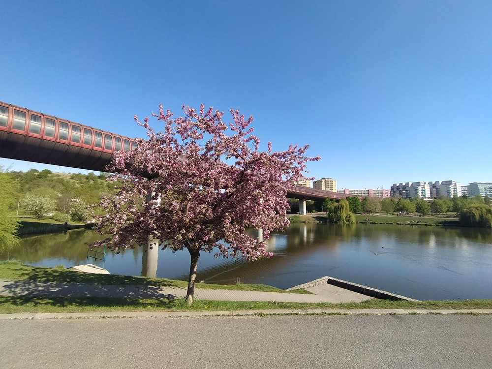 pink cherry blossom tree near river during daytime