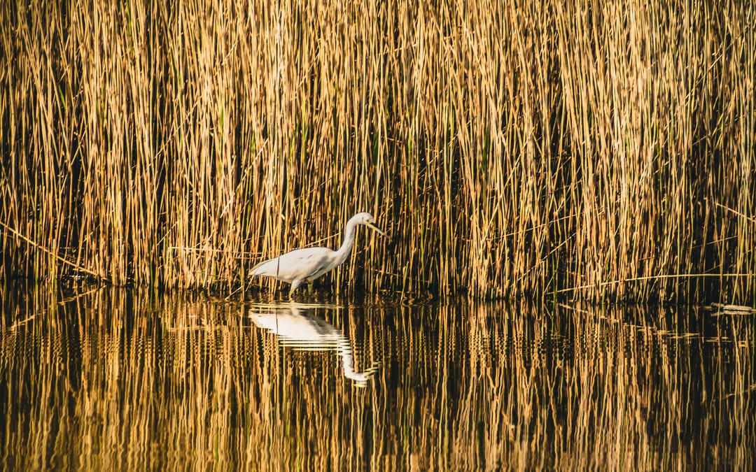 A great white egret walking alongside a reed bed in Victoria Park.