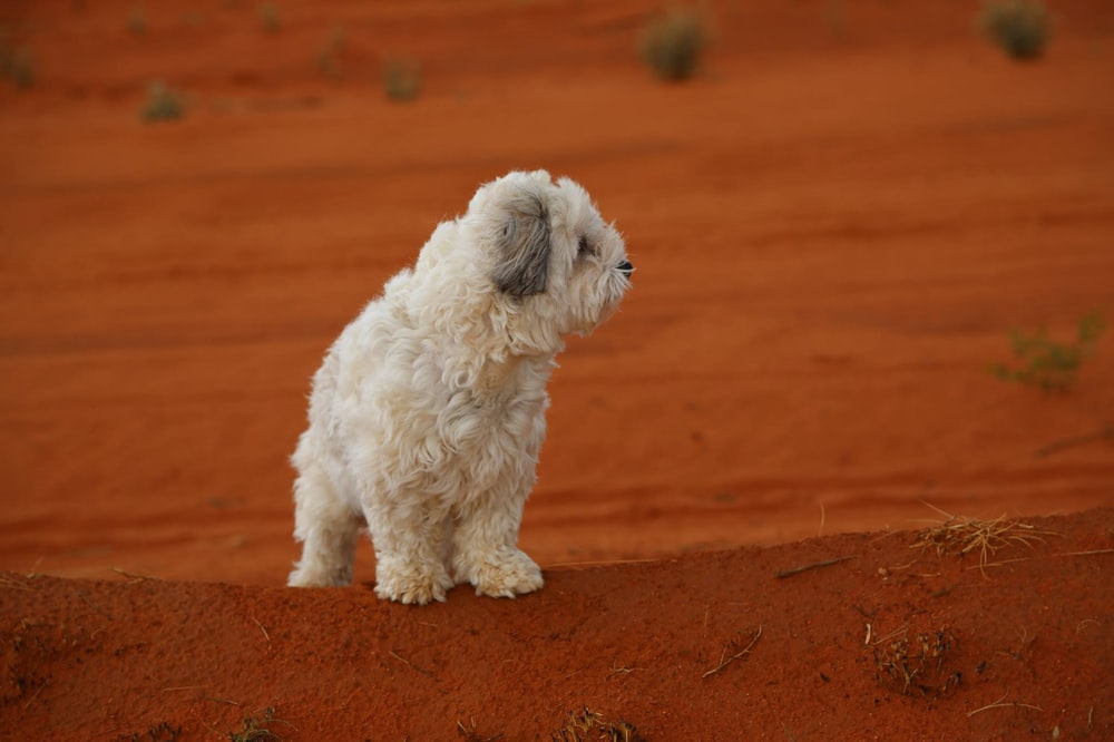 white and gray long coated small dog on brown dirt